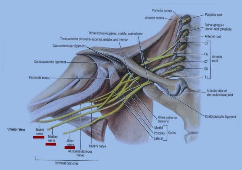 Shoulder nerve anatomy