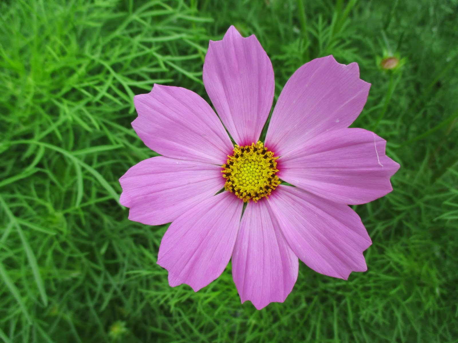 Cosmos shades of pink rotary botanical gardens versailles carmine pink mightylinksfo Image collections