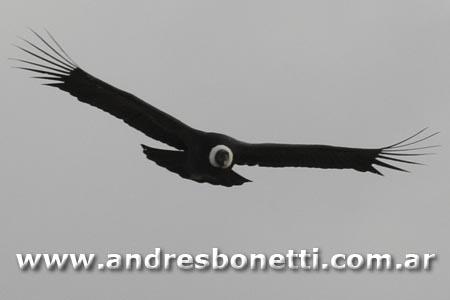Cóndor Andino - Andean Condor - Patagonia - Andrés Bonetti