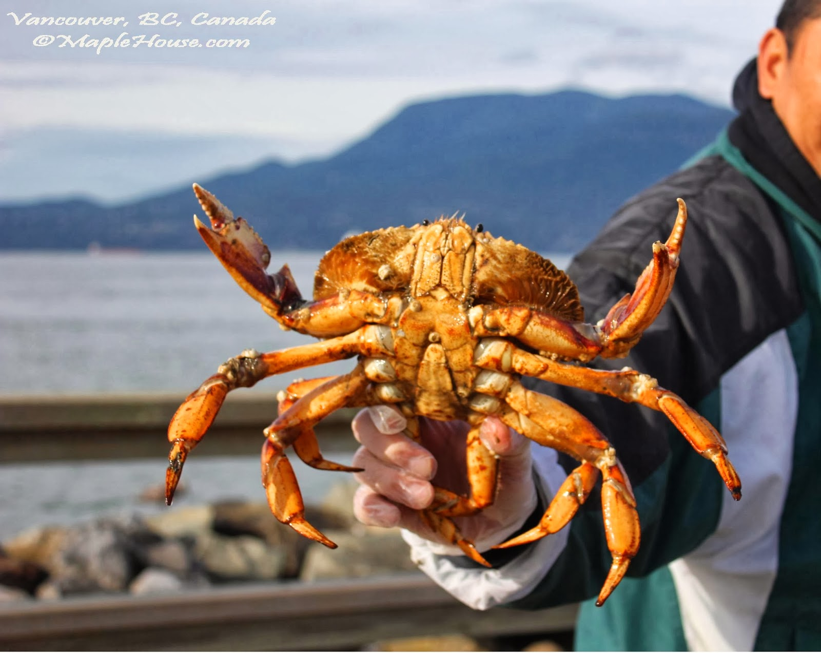 living vancouver canada fishing for dungeness crab at