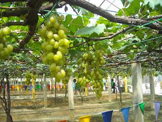 Anggur-anggur di Tasik Beris