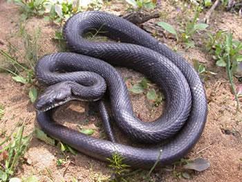 Black Rat Snake Wilson