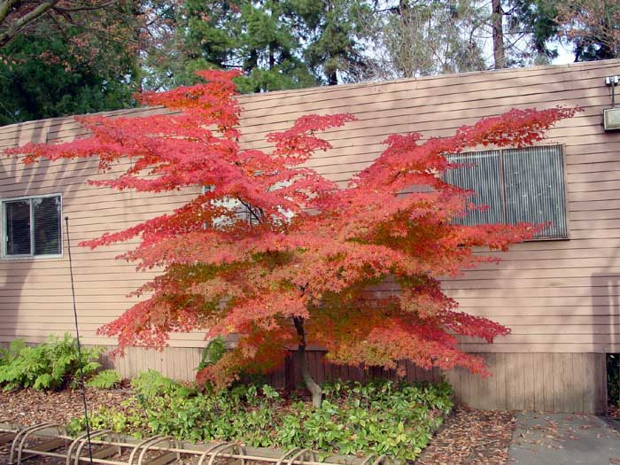any hybrid Japanese maple,