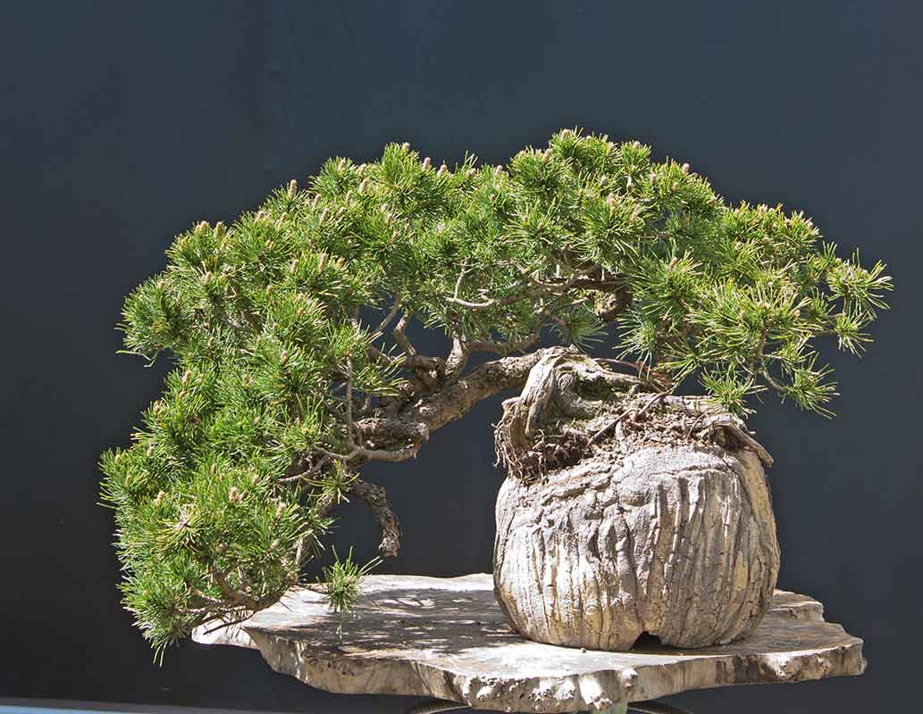 Walter Pall Bonsai Adventures April 2012