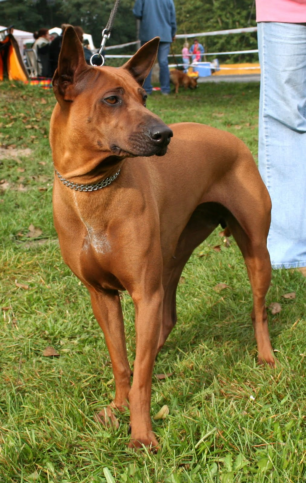 Unusual Dog Breeds In Australia
