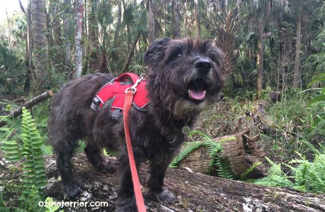 Oz the Terrier hiking Highlands Hammock State Park in Sebring, Florida