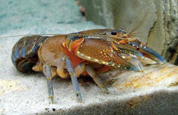 Usaha Budidaya Lobster Air Tawar Di Bak