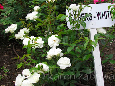 David Austin rose Iceberg (white) at BRG Mississauga, Ontario.