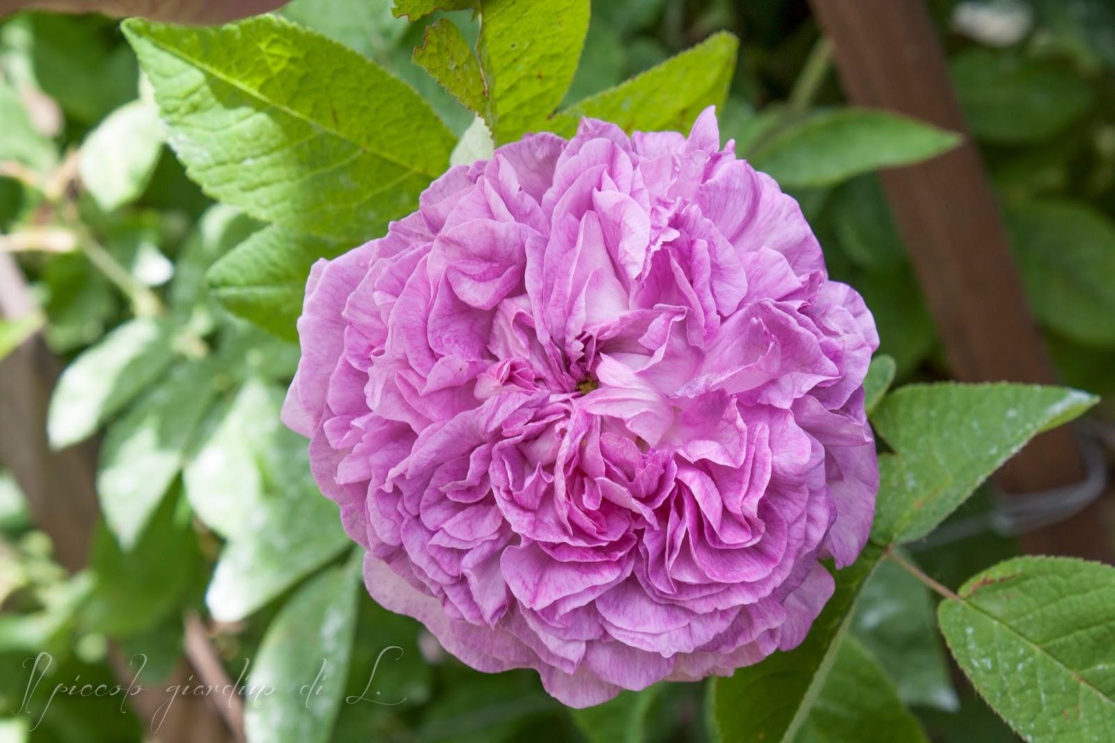 Il piccolo giardino di l ypsilanti una rosa per un for Potatura rincospermo