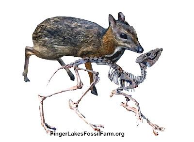Leptomeryx hypertragulidae