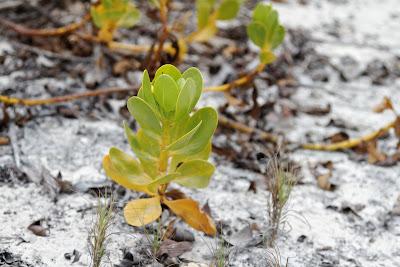 Scaevola plumieri - Ink Berry - Tortuga Bay, Santa Cruz, Galapagos