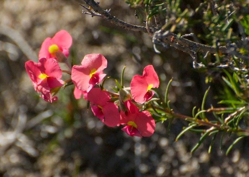Flame pea (Chorizema rhombeum or C uncinatum)