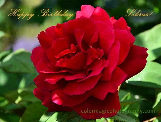 Beautiful red rose-close-up