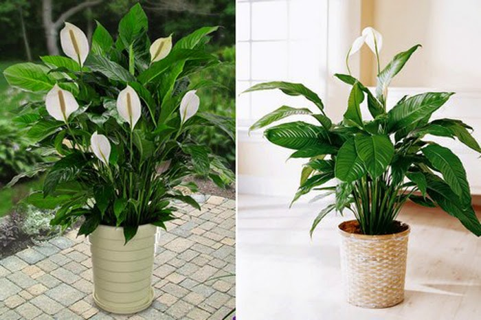 Famous Indoor Houseplants for Air Purify