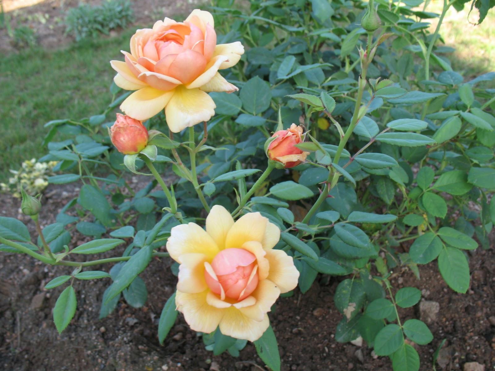 Roses du jardin ch neland rosier grace for Decoration jardin rosier