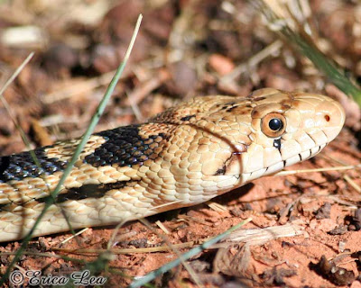 gopher snake face
