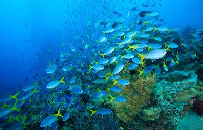 Cardumen o banco de peces en el océano - Shoal fishes