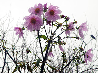 Wintry white skies with Towering Pink Dahlias