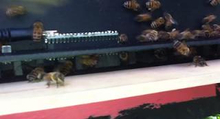 contador de abelhas