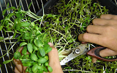 Harvesting Microgreens