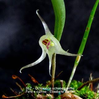 Octomeria octomeriantha
