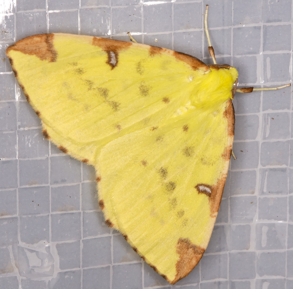Brimstone Moth, Opisthograptis luteolata.  Geometridae.  Moth trap at Sevenoaks Wildlife Reserve, 27 April 2014.