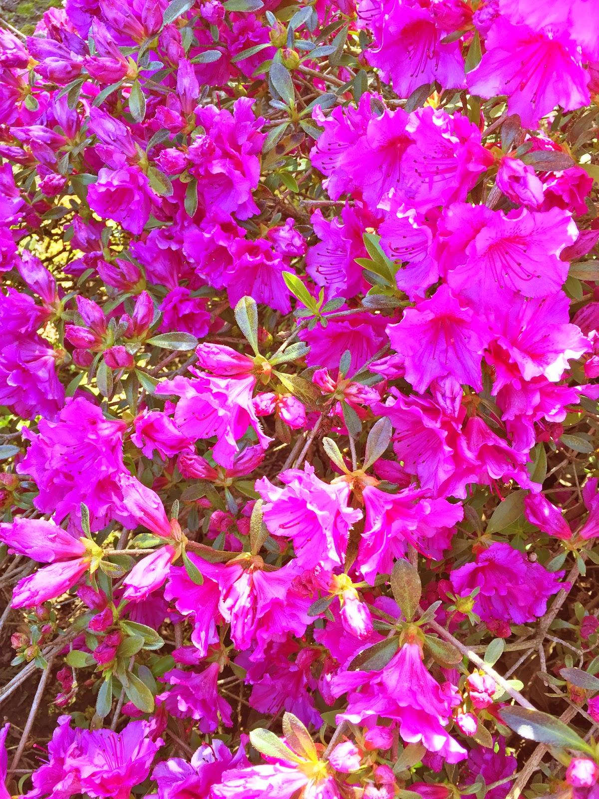 Hot pink rhododendron azalea flower wallpaper free wallpaper for hot pink rhododendron azalea flower wallpaper mightylinksfo