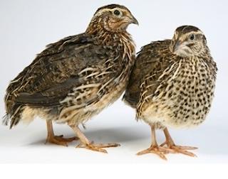 Cara merawat Burung Puyuh Dengan Baik