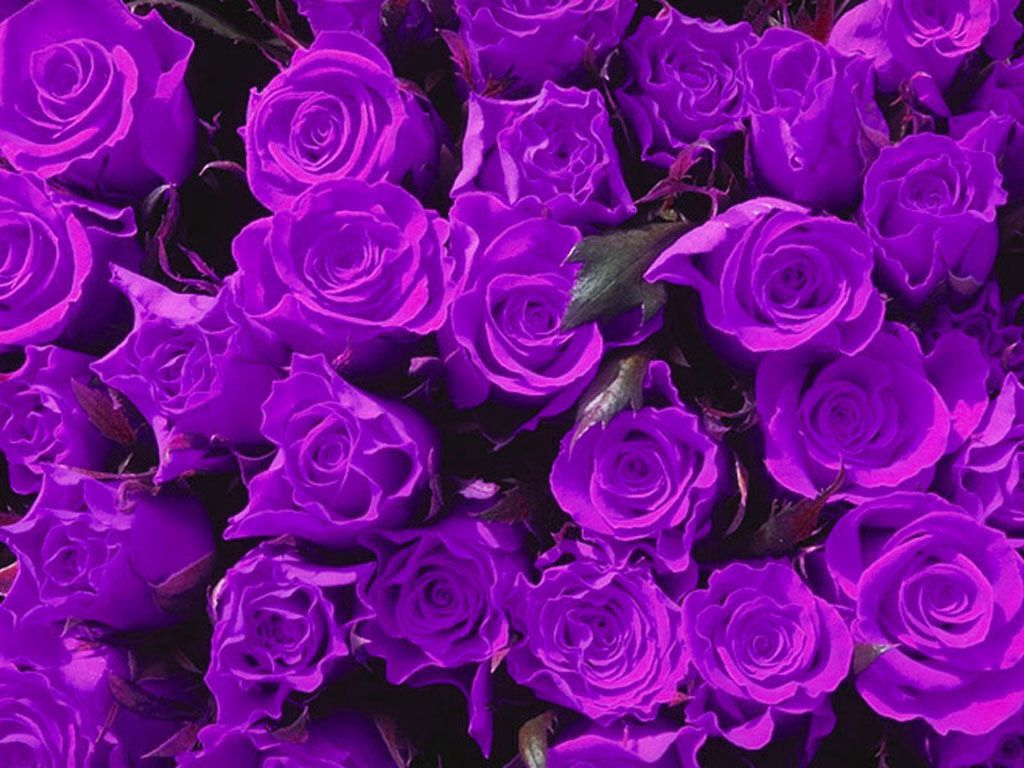 Muthu rockzz purple roses for Purple rose pictures