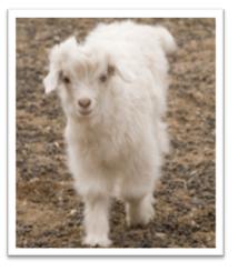 Baby cashmere goat - photo#14
