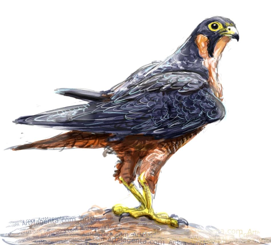 Shaheen falcon ketch painting. Bird art drawing by illustrator Artmagenta
