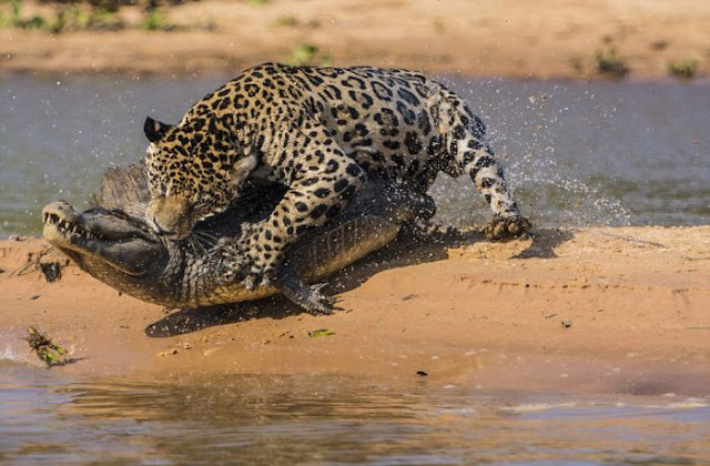 jaguar who turned into jaws 08 Video Dan Gambar Pertarungan Sengit Jaguar Dan Buaya