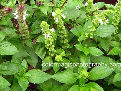 Flowering sweet basil - Ocimum Bbasilicum