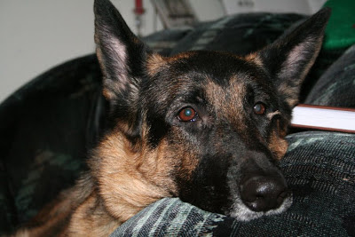 Cora, beloved German Shepard, part of the family forever :: All Pretty Things