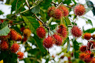 Kenapa musim buah-buahan di negara kita sudah bercelaru sekarang?