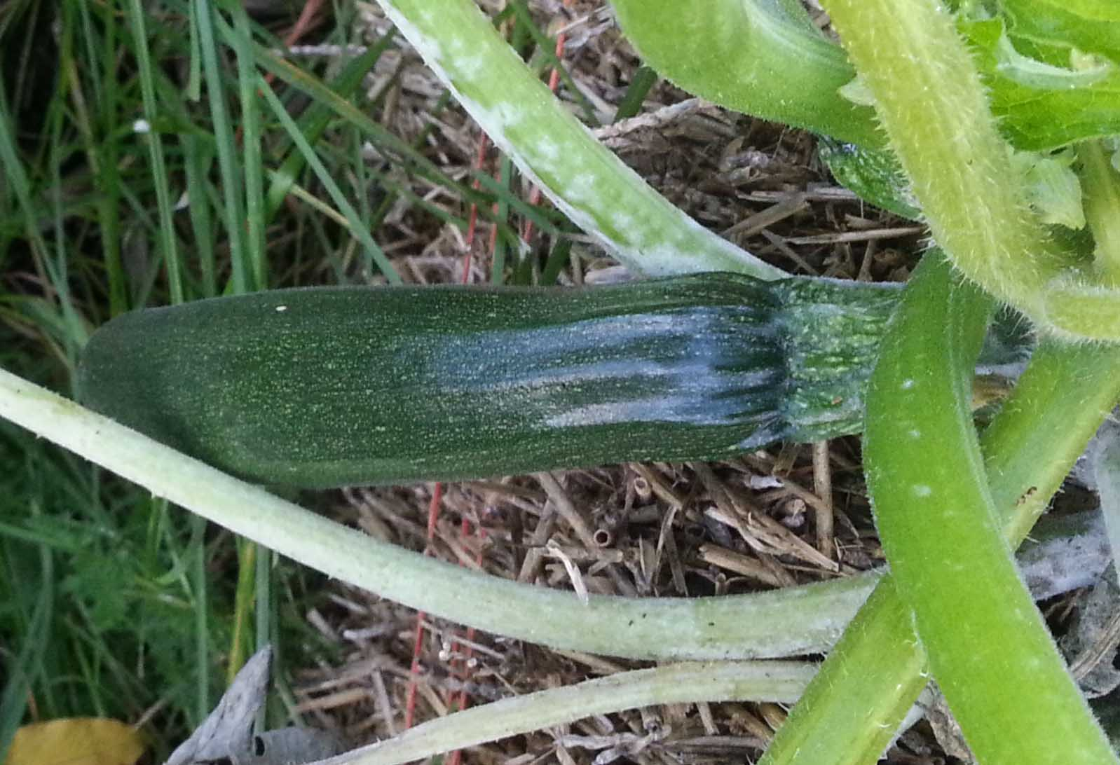 how to tell when zucchini is ready to pick