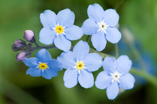 close up of blue forget-me-nots