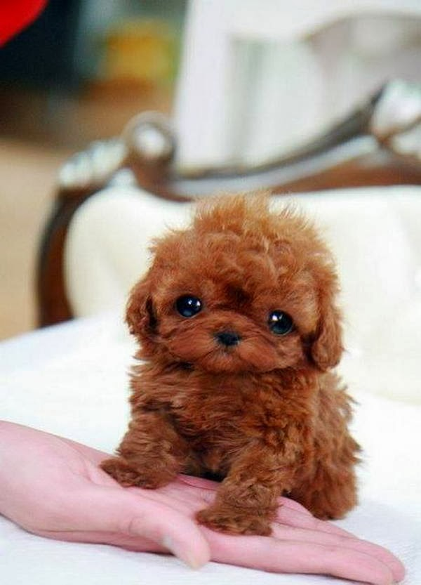 Cute dogs - part 9 (50 pics), cute little fluffy dog