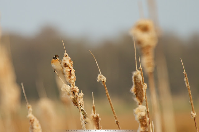 Paapje - Whinchat - Saxiola rubetra