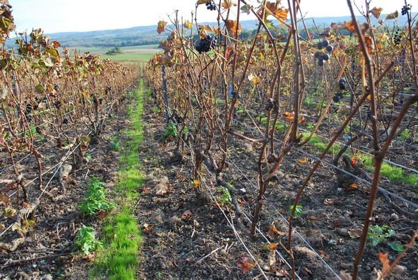 Automne champenois au Champagne JM Goulard à Prouilly www.champagne-goulard.com
