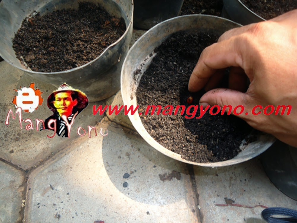 Penutupan biji dengan media Pupuk Organik atau arang sekam padi