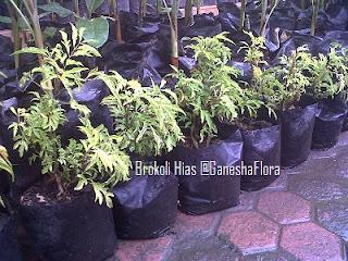 Brokoli Hias Daun Kuning
