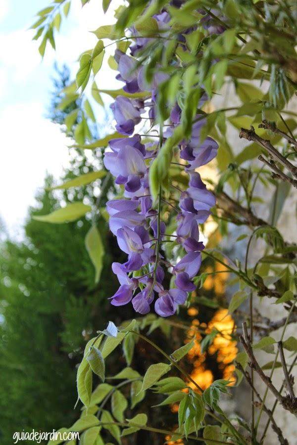 Alguna flor de glicinia