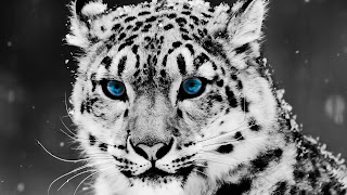 Snow Leopard hd backgrounds for pc