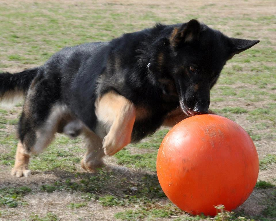 Large Toy Dogs : Big dogs work it out with a varsity ball giveaway kol s