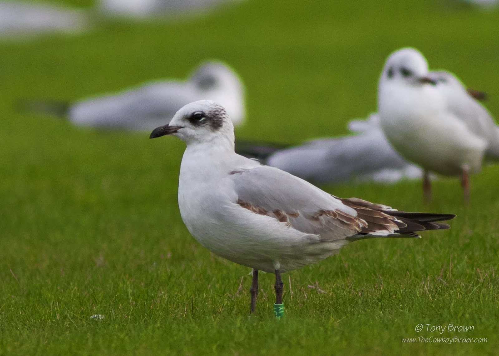 1st-winter, Gulls, colour-ringing