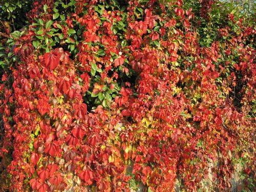 Piante e fiori vite del canada - Piante per coprire muri ...
