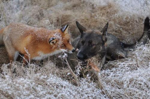 A improvável amizade entre uma raposa e um cão de caça