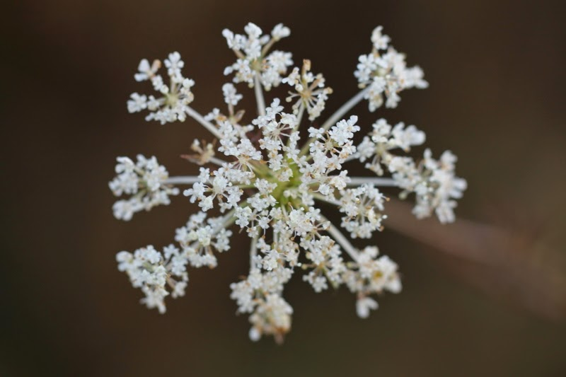 Queen Anne's Lace, or wild carrot
