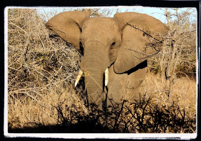 """Charging Elephant"""